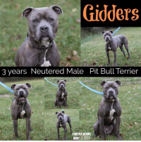 Dogs, Memes, and Puppies: Gidders  3 years Neutered Male Pit Bull Terrier  FOREVER BEGINS  HERE  HUMANE All dogs/puppies in our shelter can be viewed here.  Any dog not being held as a stray is available for immediate, same-day adoption! Adoption applications are reviewed on site. Please share our dogs and help get them out of the shelter as quickly as possible!  **PLEASE NOTE**  Placing an application on a dog featured in this album does NOT hold the dog for you.  All available dogs are available to be met and adopted same day if already altered.  If not altered, the dog can be met and paid for in order to hold the dog for you.  Thank you for your understanding!