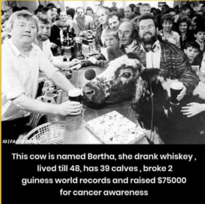 Cancer, World, and Whiskey: GIFA  This cow is named Bertha, she drank whiskey,  lived till 48, has 39 calves, broke 2  guiness world records and raised S75000  for cancer awareness That moment when a cow is more successful than you