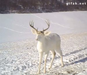 Deer, Fucking, and Head: gifak.net darkbookworm13:  capricornte:  gummygomamon:  nebula-cnidaria:  unseeliequeen:  tawnks:  gifak-net:  Wisconsin White Deer Surprised by his own Antlers Shedding   aw hell no  Deer, although graceful and lovely, are fucking morons.   Who among us isn't surprised when a part of our head flies off   As a southerner raised by rednecks, I can confirm that deer are adorable morons. I've seen deer: 1.) Run from their own baby after it sneezed 2.) Run from a turkey that was chasing another turkey 3.) Run into the only tree in the middle of a field 4.) Run from ITSELF after IT sneezed 5.) Run circles around my house because a Mockingbird was imitating the  wheezing sound deer use to verbally communicate a sense of unease   @theninjaslother  LOL so Deer are essentially my anxiety disorder?