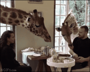 Tumblr, Blog, and Breakfast: GIFs.com 4gifs: Giraffes join newlyweds for breakfast. [video]