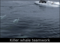 Gifs, Com, and Whale: GIFS.com  Killer whale teamwork