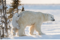 Memes, Taken, and Canada: Gilardinry 30 NOV: A cub escapes deep snow by hitching a ride on its mother's backside in Wapusk National Park, Manitoba, Canada. Taken by Daisy Gilardini, from Switzerland, the photo is one of 25 shortlisted for the People's Choice Award in the latest Wildlife Photographer of the Year Competition - on show now at the Natural History Museum in London. PHOTO: Daisy Gilardini BBCSnapshot photography wildlife competition polarbear WPOTY NHM Manitoba Canada