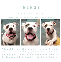 "7/11, Andrew Bogut, and Children: GINGY  e the cool guy  I d 46393,3 Yrs.,92 1bs of Love, Waiting at Brooklyn ACC  Adorable gentle giant,asweet soul  wholo ves tre ats,gives paw, adores  being pet, has a m arshmallow hear t  & dreams of a family to love him...  1 m TO BE KILLED 11/13/18  <3  ADORABLE, SUPER SWEET, GENTLE GIANT -- GINGY IS A DOLL!!  He's 92 lbs of gorgeousness, but under this gentle giant's exterior is the heart of the Cowardly Lion.  It's true that Gingy has trembled in his kennel during his stay at the scary Brooklyn Center but please watch his videos before you read another thing!    Video 1:  https://youtu.be/RH-XTN6j_ac  Video 2: https://youtu.be/pPQ7XCGy9us  This boy is a total doll -- absolutely adored by volunteers who call him their ""Gentle Giant"".  He loves to be pet, he loves to give paw, he sits so patiently waiting for the treats he adores.  In fact, treats are the way to win this big boy's heart.   He was found abandoned outside in a crate along with his girlfriend October -- but they killed her the other day, and now they want to take Gingy's life too...all because he is a gentle hearted wallflower who just needs kindness, compassion, and understanding to feel safe and loved.  It would be safe to say, in fact, that he CRAVES love and attention and most importantly - safety.  He is good with other dogs too!  See beyond the timid heart to the loyal, affectionate friend that he would be.  Gingy would make a lovely companion, so please, we can't let this strange and scary place be Gingy's last memory. Foster or adopt him now.  PRIVATE MESSAGE our page or email us at MustLoveDogsNYC@gmail.com for assistance.  GINGY, ID 46393, @ 3 YRS., 92 LBS OF LOVE BROOKLYN ACC, Large Mixed Breed, White/Black, Unaltered Male.     I came into the shelter as a agency on 03-Nov-2018. Shelter Assessment Rating:  ADULT ONLY HOME  AT RISK MEMO:  GINGY   has shown some fearful behavior while at the care center. He is difficult to remove from the kennel, growling at the leash. He appears to be uncomfortable or afraid of the slip lead. He has also allowed minimal handling from his caretakers. There are no medical concerns at this time.    INTAKE NOTES - DATE OF INTAKE 11/3/2018:  Behavior during intake: Ginger had a tense body but allowed to be leashed. Counselor was able to take a picture but was unable to collar  SURRENDER NOTES - BASIC INFORMATION:  Gingy was found as a stray outside left in a crate. Finder was able to bring him to the ACC.    When a stranger approaches Gingy, he had a neutral body.  Gingy does not have any known medical concerns that the finder knew of.  SHELTER ASSESSMENT NOTES - DATE OF ASSESSMENT:  11/8/2018  Summary:: Gingy is difficult to remove from the kennel, growling at the leash. He appears to be uncomfortable or afraid of the slip lead. He has also allowed minimal handling from his caretakers. Out of concern for his stress levels and his response to restraint, we feel Gingy is not a great candidate for a handling assessment at this time.  Summary (1):: Gingy was brought in as a stray with one other dog but his behavior around other dogs is unknown.  PLAYGROUP NOTES - DOG TO DOG SUMMARIES:  11/4: When off leash at the Care Center, Gingy is nervous when entering the yard- tail tucked, lowered head and posture. He is tolerant of the female helper's pushy greets and when she slaps him on the back with his paws but mostly ignores her and explores the yard. 11/6: Gingy was wary of both handlers and the greeter. He mostly kept to himself while exploring the yard.   INTAKE BEHAVIOR - Date of intake:: 11/3/2018 Summary:: Tense, allowed some handling  MEDICAL BEHAVIOR - Date of initial:: 11/7/2018 Summary:: Trembling. whale eyes  ENERGY LEVEL:: Gingy displays a low activity level in the care center.  BEHAVIOR DETERMINATION:: ADULT ONLY HOME Behavior Asilomar: TM - Treatable-Manageable  Recommendations:: No children (under 13),Place with a New Hope partner  Recommendations comments:: No children: Due to how uncomfortable Gingy is currently with touch and novel stimuli, we feel that an adult-only home would be most beneficial at this time.   Gingy has not acclimated well to the kennel environment and has allowed only minimal handling since intake. We recommend placement with a New Hope partner who can provide any necessary behavior modification (force-free, positive reinforcement-based) and re-evaluate behavior in a stable home environment before placement into a permanent home.  Potential challenges: : Fearful Potential challenges comments:: Fearful: Gingy gives clear warnings when he is uncomfortable and does seem to choose to avoid or retreat when given the opportunity, but if prevented from moving away there is a potential to escalate to higher-level warning behaviors and possible fear-based aggression. It is important to move slowly with Gingy, to build positive associations (treats/toys/praise), and to allow Gingy to initiate interactions with new people. He should never be forced to greet or to interact if he is not comfortable and soliciting attention.    MEDICAL NOTES  Vet Notes 7/11/2018  [DVM Intake] DVM Intake Exam  Estimated age:3y Microchip noted on Intake?n Microchip Number (If Applicable):  History :stray  Subjective:was bleeding from rear leg when brought in : no evidence of bite wounds. scabs on legs are pyoderma related  Observed Behavior -shaking, whale eyed, muzzled as precaution  Evidence of Cruelty seen -n  Evidence of Trauma seen -n  Objective   T = P =60 R =wnl BCS 5/9  EENT: Eyes clear, au crusty dc oral exam limited but teeth very white PLN: No enlargements noted H/L: NSR, NMA, Lungs clear, eupnic ABD: Non painful, no masses palpated U/G:2 testes MSI: Ambulatory x 4, scabby dermatitis thoughout coat CNS: Mentation appropriate - no signs of neurologic abnormalities  Assessment: otitis and pyoderma  Prognosis:good  Plan:ears cleaned and claro applied. cephalexin 500mgbid x 14d  SURGERY: Okay for surgery   *** TO FOSTER OR ADOPT ***  GINGY IS RESCUE ONLY. You must fill out applications with New Hope Rescues to foster or adopt him. He cannot be reserved online at the ACC ARL, nor can he be direct adopted at the shelter. PLEASE HURRY AND MESSAGE OUR PAGE FOR ASSISTANCE!   PLEASE NOTE: You MUST live in NY, NJ, PA, CT, RI, DE, MD, MA, NH, VT, ME or Northern VA. You will need to fill out applications with a New Hope Rescue Partner to foster or adopt a NYC ACC dog. Transport is available if you live within the prescribed range of states.  Shelter contact information: Phone number (212) 788-4000 Email adopt@nycacc.org  Shelter Addresses: Brooklyn Shelter: 2336 Linden Boulevard Brooklyn, NY 11208 Manhattan Shelter: 326 East 110 St. New York, NY 10029 Staten Island Shelter: 3139 Veterans Road West Staten Island, NY 10309"