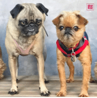 "Memes, 🤖, and Ozzy: Giz  图  C) ""This little guy is @grumpygriffbob - he's 9 years old and needs a home. Available through abgra.org "" -Ozzy http://ift.tt/2iaHXHO"