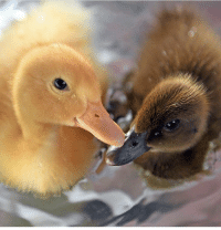 Glamour Shots, Glamour, and Ducklings