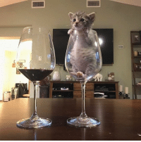 Memes, Wine, and 🤖: Glass of wine or glass of kitten - which would you choose?! 🍷🤷🏽‍♀️🐱 {courtesy of @suzie_and_kushi} themeowlife pinotmeow