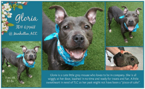 "TO BE KILLED 8/22/19  ~ Gray beauty Gloria is still here! How could you resist those ears! ~ A $500 stipend will be offered to the New Hope partner that pulls Gloria.   Meet Gloria! This fun loving, social gal is looking for her forever family! A volunteer writes: Gloria is a cute little grey mouse who loves to be in company. She is all wiggly at her door, leashed in no time and ready for treats and fun. She can jump really high for liver bits, and sit, too. This will make training quite easy. Gloria is an enthusiastic walker, but being quite small and light, a gentle lead will just do the trick for a pleasant stroll. I was told that she was a sweetheart, and a stop by a bench showed me that she was a perfect girlfriend! Gloria needs TLC as her past might not have been a ""piece of cake"". Your caring and loving hands are what Gloria has been waiting all her life for. Come and meet her soon at the Manhattan Care Center!  MY MOVIE: Gloria wants to be your friend https://youtu.be/H_QK2n7K0M0  GLORIA, ID# 67948, 5 yrs old, 45 lbs (34.4 lbs at Intake),  Manhattan Animal Care Center, Medium Mixed Breed Cross,  Gray Female, Found Stray  Shelter Assessment Rating: LEVEL 3 No children (under 13) Medical Behavior Rating:  BEHAVIOR NOTES   Means of surrender (length of time in previous home): Stray Behavior toward strangers: finders report her as friendly Bite history: Yes - due to Mouthiness/poor bite inhibition. During an adoption interaction Gloria became excited and began mouthing the adopter. She jumped up and bit the adopter's hand, resulting in broken skin.  SAFER ASSESSMENT: Date of assessment: 6-Jul-2019  Summary:  Leash Walking Strength and pulling: Moderate Reactivity to humans: None  Reactivity to dogs: None Leash walking comments: None  Sociability Loose in room (15-20 seconds): Highly social Call over: Approaches readily Sociability comments: Body soft, jumps up gently   Handling  Soft handling: Seeks contact Exuberant handling: Seeks contact Handling comments: Body soft, jumps up, leans in   Arousal Jog: Follows (loose) Arousal comments: None  Knock: Approaches (loose) Knock Comments: None  Toy: No response Toy comments: None  PLAYGROUP NOTES - DOG TO DOG SUMMARIES: Due to arrival as a stray, Gloria's history around dogs is unknown. At the care center, Gloria was polite and calm when introduced to the helper dog. Most recently, she has appeared more tense and uncomfortable around other dogs. Future introductions and follow up around dogs may be best conducted outside of a shelter environment.  7/3: When introduced off leash to the male helper dog, Gloria greets politely.  7/7-10: Today, Gloria is tense and corners the other dogs.  ENERGY LEVEL: We have no history on Gloria so we cannot be certain of her behavior in a home environment. However, she is a young, enthusiastic, social dog who will need daily mental and physical activity to keep her engaged and exercised. We recommend long-lasting chews, food puzzles, and hide-and-seek games, in additional to physical exercise, to positively direct her energy and enthusiasm.   IN SHELTER OBSERVATIONS:  8/12: Charges the kennel growling, baring teeth, and snaps repeatedly when approach in kennel. Once out of kennel, grabs leash in mouth.  8/4 Gloria was observed to growl, lunge, and snap towards a handler when he was attempting to remove her from her kennel.  BEHAVIOR DETERMINATION: Level 3 Behavior Asilomar TM - Treatable-Manageable  Recommendations: No children (under 13)  Recommendations comments: No children: Gloria takes treats extremely hard and bites down on fingers by accident. She also becomes overly mouthy when excited to the point that she broke a skin on a person's hand. For these reasons, we recommend an adult only home.  Potential challenges:  Social hyperarousal Mouthiness/poor bite inhibition Bite history (human)  Potential challenges comments:  Mouthiness/poor bite inhibition: Gloria takes treats extremely enthusiastically and bites down very hard on fingers by accident when getting fed by hand. Treats should be tossed on the ground instead. She has also become mouthy when excited and bitten down with hard pressure, breaking skin on one occasion. Please see handout on Mouthiness/poor bite inhibition.   Social hyperarousal: Gloria becomes very excited around people, jumping up and mouthing them. She has at times used hard pressure when mouthing. Please see handout on Arousal.  Bite history (human): Gloria becomes excited and mouthy during an adoption interaction, biting the adopter's hand and breaking skin. Please see handout on Bite History.  MEDICAL EXAM NOTES   12-Aug-2019  Tech Exam As per Dr 1657, removed e-collar  12-Aug-2019  Progress Exam Hx: has had r fl lameness msi- nsf P) remove e collar  10-Aug-2019  Progress Exam SO P is R TL lame, licking at palmar surface between digits.  MSKI -- R TL lame with toe touching; moderate erythema between the central paw pad and digits # #3&4 with a focal 1cm blanched region along the palmar surface. Small abrasion seen with mild discharge  A  lame -- R TL r/o trauma  P  sedated with butorphanol 0.8ml, dexdomitor 0.6ml IV.  2 view radiographs of the R TL  cleaned, flushed wound with saline and dilute chlorhexidine.  e collar placed to prevent further self-trauma  Limited Walks sign placed  Trazodone 200mg PO q12h x 3 days  convenia 2.1ml SQ one t ime  reversed with 0.4ml antisedan IM  10-Aug-2019  Tech Exam Per Dr. 1516: Sedated with Dexmedetomidine 0.5 mg/ml 0.6 mls IV and Butorphanol 10 mg/ml 0.8 mls IV Shot 2 view RF paw rads Placed e-collar 20 cm Placed ""5 minute only walks"" sign Administered Convenia 80 mg/ml 2.1 mls SQ Reversed with Antisedan 5 mg/ml 0.4 mls IM  9-Aug-2019  Progress Exam SO  MSK -- R TL lame. erythematous paw pads, abrasion along the central paw pad .  A  paw pad abrasion  P  carprofen 75mg tablet -- 1 tablet PO q24h x 4 days  29-Jul-2019  Progress Exam SO  Recheck CIRDC day 14. BAR in kennel. P is hard barking at kennel front  EN -- eyes and nose are clear. no discharge. no sneezing. Appears eupneic.  A  CIRDC -- apparently resolved  P  ok to move out of ISO  continue to monitor in shelter  23-Jul-2019  Progress Exam SO:  CIRDC recheck BAR at front of kennel, barking mucoid nasal d/c present  occasional cough during observation period A: CIRDC P: extend ab course additional 5 days then recheck Enrofloxacin 204mg 0.75 tablet sid x5d Doxycycline 100mg tab 1.75 tablets sid x5d  20-Jul-2019  Progress Exam Hx: has had CIRDC eent- mucoid nasal dc; eyes clear A) CIRDC P) URI signs continue  16-Jul-2019  Progress Exam SO  Recheck CIRDC day 10  EN -- eyes are clear. serous nasal discharge  A CIRDC  P  continue on current tx plan  10-Jul-2019  Progress Exam SO  BAR in kennel.  EN -- sneezing, sniffling and serous nasal discharge during rounds  A  CIRDC  P  doxycycline 100mg tablet -- give 1.75tablet PO q24h x 14 days  enrofloxacin 204mg tablet -- give 0.75 tablet PO q24h x 14 days  cerenia 16mg tablet -- give 1 tablet PO q24h x 4 days  7-Jul-2019  DVM Intake Exam Estimated age: 5 years Microchip noted on Intake?No History : Stray Subjective: BAR H pink 1 sec Observed Behavior - seeks attention; engaging Evidence of Cruelty seen - no Evidence of Trauma seen - no Objective  P =120hr R =40rr BCS 4/9 EENT: Eyes clear, ears clean, no nasal or ocular discharge noted Oral Exam:mild tartar; stage 1 PLN: No enlargements noted H/L: NSR, NMA, CRT < 2, Lungs clear, eupnic ABD: Non painful, no masses palpated U/G: FI based on apparent absence of OHE scar  MSI: Ambulatory x 4, skin free of parasites, no masses noted, multifocal area of alopecia CNS: Mentation appropriate - no signs of neurologic abnormalities Assessment underweight areas of alopecia secondary to healing wounds (scars) and pressure points Prognosis: good Plan: intake procedures SURGERY: Okay for surgery   *** TO FOSTER OR ADOPT ***  HOW TO RESERVE A ""TO BE KILLED"" DOG ONLINE (only for those who can get to the shelter IN PERSON to complete the adoption process, and only for the dogs on the list NOT marked New Hope Rescue Only). Follow our Step by Step directions below!   *PLEASE NOTE – YOU MUST USE A PC OR TABLET – PHONE RESERVES WILL NOT WORK! **   STEP 1: CLICK ON THIS RESERVE LINK: https://newhope.shelterbuddy.com/Animal/List  Step 2: Go to the red menu button on the top right corner, click register and fill in your info.   Step 3: Go to your email and verify account  \ Step 4: Go back to the website, click the menu button and view available dogs   Step 5: Scroll to the animal you are interested and click reserve   STEP 6 ( MOST IMPORTANT STEP ): GO TO THE MENU AGAIN AND VIEW YOUR CART. THE ANIMAL SHOULD NOW BE IN YOUR CART!  Step 7: Fill in your credit card info and complete transaction   HOW TO FOSTER OR ADOPT IF YOU *CANNOT* GET TO THE SHELTER IN PERSON, OR IF THE DOG IS NEW HOPE RESCUE ONLY!   You must live within 3 – 4 hours of NY, NJ, PA, CT, RI, DE, MD, MA, NH, VT, ME or Norther VA.   Please PM our page for assistance. You will need to fill out applications with a New Hope Rescue Partner to foster or adopt a dog on the To Be Killed list, including those labelled Rescue Only. Hurry please, time is short, and the Rescues need time to process the applications.: gloria  ID# 67948  @ Manhattan ACC  Glorla is a cute Ittle grey mouse who loves to be in company. She is al  wiggly at her door, leashed in no time and ready for treats and fun. A little  sweetheart in need of TLC as her past might not have been a ""piece of cake""  5 yrs old  45 lbs TO BE KILLED 8/22/19  ~ Gray beauty Gloria is still here! How could you resist those ears! ~ A $500 stipend will be offered to the New Hope partner that pulls Gloria.   Meet Gloria! This fun loving, social gal is looking for her forever family! A volunteer writes: Gloria is a cute little grey mouse who loves to be in company. She is all wiggly at her door, leashed in no time and ready for treats and fun. She can jump really high for liver bits, and sit, too. This will make training quite easy. Gloria is an enthusiastic walker, but being quite small and light, a gentle lead will just do the trick for a pleasant stroll. I was told that she was a sweetheart, and a stop by a bench showed me that she was a perfect girlfriend! Gloria needs TLC as her past might not have been a ""piece of cake"". Your caring and loving hands are what Gloria has been waiting all her life for. Come and meet her soon at the Manhattan Care Center!  MY MOVIE: Gloria wants to be your friend https://youtu.be/H_QK2n7K0M0  GLORIA, ID# 67948, 5 yrs old, 45 lbs (34.4 lbs at Intake),  Manhattan Animal Care Center, Medium Mixed Breed Cross,  Gray Female, Found Stray  Shelter Assessment Rating: LEVEL 3 No children (under 13) Medical Behavior Rating:  BEHAVIOR NOTES   Means of surrender (length of time in previous home): Stray Behavior toward strangers: finders report her as friendly Bite history: Yes - due to Mouthiness/poor bite inhibition. During an adoption interaction Gloria became excited and began mouthing the adopter. She jumped up and bit the adopter's hand, resulting in broken skin.  SAFER ASSESSMENT: Date of assessment: 6-Jul-2019  Summary:  Leash Walking Strength and pulling: Moderate Reactivity to humans: None  Reactivity to dogs: None Leash walking comments: None  Sociability Loose in room (15-20 seconds): Highly social Call over: Approaches readily Sociability comments: Body soft, jumps up gently   Handling  Soft handling: Seeks contact Exuberant handling: Seeks contact Handling comments: Body soft, jumps up, leans in   Arousal Jog: Follows (loose) Arousal comments: None  Knock: Approaches (loose) Knock Comments: None  Toy: No response Toy comments: None  PLAYGROUP NOTES - DOG TO DOG SUMMARIES: Due to arrival as a stray, Gloria's history around dogs is unknown. At the care center, Gloria was polite and calm when introduced to the helper dog. Most recently, she has appeared more tense and uncomfortable around other dogs. Future introductions and follow up around dogs may be best conducted outside of a shelter environment.  7/3: When introduced off leash to the male helper dog, Gloria greets politely.  7/7-10: Today, Gloria is tense and corners the other dogs.  ENERGY LEVEL: We have no history on Gloria so we cannot be certain of her behavior in a home environment. However, she is a young, enthusiastic, social dog who will need daily mental and physical activity to keep her engaged and exercised. We recommend long-lasting chews, food puzzles, and hide-and-seek games, in additional to physical exercise, to positively direct her energy and enthusiasm.   IN SHELTER OBSERVATIONS:  8/12: Charges the kennel growling, baring teeth, and snaps repeatedly when approach in kennel. Once out of kennel, grabs leash in mouth.  8/4 Gloria was observed to growl, lunge, and snap towards a handler when he was attempting to remove her from her kennel.  BEHAVIOR DETERMINATION: Level 3 Behavior Asilomar TM - Treatable-Manageable  Recommendations: No children (under 13)  Recommendations comments: No children: Gloria takes treats extremely hard and bites down on fingers by accident. She also becomes overly mouthy when excited to the point that she broke a skin on a person's hand. For these reasons, we recommend an adult only home.  Potential challenges:  Social hyperarousal Mouthiness/poor bite inhibition Bite history (human)  Potential challenges comments:  Mouthiness/poor bite inhibition: Gloria takes treats extremely enthusiastically and bites down very hard on fingers by accident when getting fed by hand. Treats should be tossed on the ground instead. She has also become mouthy when excited and bitten down with hard pressure, breaking skin on one occasion. Please see handout on Mouthiness/poor bite inhibition.   Social hyperarousal: Gloria becomes very excited around people, jumping up and mouthing them. She has at times used hard pressure when mouthing. Please see handout on Arousal.  Bite history (human): Gloria becomes excited and mouthy during an adoption interaction, biting the adopter's hand and breaking skin. Please see handout on Bite History.  MEDICAL EXAM NOTES   12-Aug-2019  Tech Exam As per Dr 1657, removed e-collar  12-Aug-2019  Progress Exam Hx: has had r fl lameness msi- nsf P) remove e collar  10-Aug-2019  Progress Exam SO P is R TL lame, licking at palmar surface between digits.  MSKI -- R TL lame with toe touching; moderate erythema between the central paw pad and digits # #3&4 with a focal 1cm blanched region along the palmar surface. Small abrasion seen with mild discharge  A  lame -- R TL r/o trauma  P  sedated with butorphanol 0.8ml, dexdomitor 0.6ml IV.  2 view radiographs of the R TL  cleaned, flushed wound with saline and dilute chlorhexidine.  e collar placed to prevent further self-trauma  Limited Walks sign placed  Trazodone 200mg PO q12h x 3 days  convenia 2.1ml SQ one t ime  reversed with 0.4ml antisedan IM  10-Aug-2019  Tech Exam Per Dr. 1516: Sedated with Dexmedetomidine 0.5 mg/ml 0.6 mls IV and Butorphanol 10 mg/ml 0.8 mls IV Shot 2 view RF paw rads Placed e-collar 20 cm Placed ""5 minute only walks"" sign Administered Convenia 80 mg/ml 2.1 mls SQ Reversed with Antisedan 5 mg/ml 0.4 mls IM  9-Aug-2019  Progress Exam SO  MSK -- R TL lame. erythematous paw pads, abrasion along the central paw pad .  A  paw pad abrasion  P  carprofen 75mg tablet -- 1 tablet PO q24h x 4 days  29-Jul-2019  Progress Exam SO  Recheck CIRDC day 14. BAR in kennel. P is hard barking at kennel front  EN -- eyes and nose are clear. no discharge. no sneezing. Appears eupneic.  A  CIRDC -- apparently resolved  P  ok to move out of ISO  continue to monitor in shelter  23-Jul-2019  Progress Exam SO:  CIRDC recheck BAR at front of kennel, barking mucoid nasal d/c present  occasional cough during observation period A: CIRDC P: extend ab course additional 5 days then recheck Enrofloxacin 204mg 0.75 tablet sid x5d Doxycycline 100mg tab 1.75 tablets sid x5d  20-Jul-2019  Progress Exam Hx: has had CIRDC eent- mucoid nasal dc; eyes clear A) CIRDC P) URI signs continue  16-Jul-2019  Progress Exam SO  Recheck CIRDC day 10  EN -- eyes are clear. serous nasal discharge  A CIRDC  P  continue on current tx plan  10-Jul-2019  Progress Exam SO  BAR in kennel.  EN -- sneezing, sniffling and serous nasal discharge during rounds  A  CIRDC  P  doxycycline 100mg tablet -- give 1.75tablet PO q24h x 14 days  enrofloxacin 204mg tablet -- give 0.75 tablet PO q24h x 14 days  cerenia 16mg tablet -- give 1 tablet PO q24h x 4 days  7-Jul-2019  DVM Intake Exam Estimated age: 5 years Microchip noted on Intake?No History : Stray Subjective: BAR H pink 1 sec Observed Behavior - seeks attention; engaging Evidence of Cruelty seen - no Evidence of Trauma seen - no Objective  P =120hr R =40rr BCS 4/9 EENT: Eyes clear, ears clean, no nasal or ocular discharge noted Oral Exam:mild tartar; stage 1 PLN: No enlargements noted H/L: NSR, NMA, CRT < 2, Lungs clear, eupnic ABD: Non painful, no masses palpated U/G: FI based on apparent absence of OHE scar  MSI: Ambulatory x 4, skin free of parasites, no masses noted, multifocal area of alopecia CNS: Mentation appropriate - no signs of neurologic abnormalities Assessment underweight areas of alopecia secondary to healing wounds (scars) and pressure points Prognosis: good Plan: intake procedures SURGERY: Okay for surgery   *** TO FOSTER OR ADOPT ***  HOW TO RESERVE A ""TO BE KILLED"" DOG ONLINE (only for those who can get to the shelter IN PERSON to complete the adoption process, and only for the dogs on the list NOT marked New Hope Rescue Only). Follow our Step by Step directions below!   *PLEASE NOTE – YOU MUST USE A PC OR TABLET – PHONE RESERVES WILL NOT WORK! **   STEP 1: CLICK ON THIS RESERVE LINK: https://newhope.shelterbuddy.com/Animal/List  Step 2: Go to the red menu button on the top right corner, click register and fill in your info.   Step 3: Go to your email and verify account  \ Step 4: Go back to the website, click the menu button and view available dogs   Step 5: Scroll to the animal you are interested and click reserve   STEP 6 ( MOST IMPORTANT STEP ): GO TO THE MENU AGAIN AND VIEW YOUR CART. THE ANIMAL SHOULD NOW BE IN YOUR CART!  Step 7: Fill in your credit card info and complete transaction   HOW TO FOSTER OR ADOPT IF YOU *CANNOT* GET TO THE SHELTER IN PERSON, OR IF THE DOG IS NEW HOPE RESCUE ONLY!   You must live within 3 – 4 hours of NY, NJ, PA, CT, RI, DE, MD, MA, NH, VT, ME or Norther VA.   Please PM our page for assistance. You will need to fill out applications with a New Hope Rescue Partner to foster or adopt a dog on the To Be Killed list, including those labelled Rescue Only. Hurry please, time is short, and the Rescues need time to process the applications."
