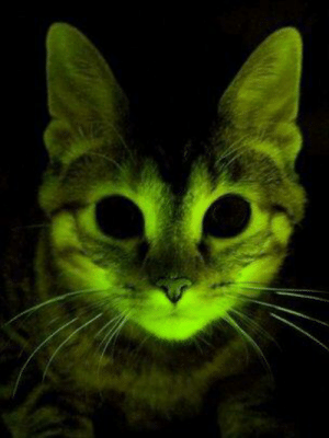 Glow in the dark cat created by scientists in South Korea. They injected jellyfish phosphorescence into cat embryos.: Glow in the dark cat created by scientists in South Korea. They injected jellyfish phosphorescence into cat embryos.