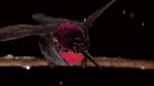 Head, Tumblr, and Blog: glowpaidemployee: sixpenceee:  A hummingbird shakes off rain the same way a wet dog does, with an oscillation of its head and body. (Source)  Flying puppy