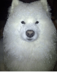 9gag, Memes, and Bowling: Go out for a walk then come back as a bowl of shaved ice. Follow @9gag @9gagmobile 9gag samoyed