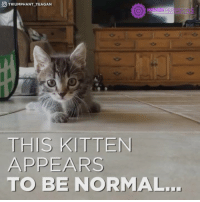 If this doesn't melt your heart, something is wrong with you! 😍😍😍😍😍: GO TRIUMPHANT TEAGAN  HIGHER PER  THIS KITTEN  APPEARS  TO BE NORMAL. If this doesn't melt your heart, something is wrong with you! 😍😍😍😍😍
