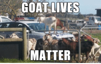 GOAT LIVES  MATTER Meanwhile, in Australia...