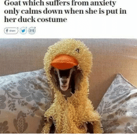 Funny, News, and Goat: Goat which suffers from anxiety  only calms down when she is put in  her duck costume Finally some good news.