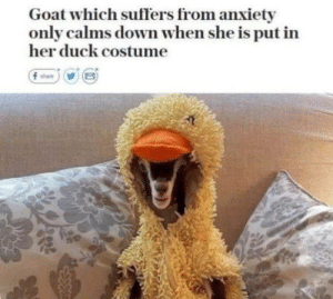 my heart is 𝒘𝒂𝒓𝒎: Goat which suffers from anxiety  only calms down when she is put in  her duck costume  f share my heart is 𝒘𝒂𝒓𝒎