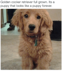 """Animals, Target, and Tumblr: Golden cocker retriever full grown. Itsa  puppy that looks like a puppy forever. <p><a href=""""http://babyanimalgifs.tumblr.com/"""" target=""""_blank"""">baby <b>animals</b> blog</a></p>"""