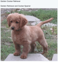 "Animals, Target, and Tumblr: Golden Cocker Retriever  Golden Retriever and Cocker Spaniel <p><a href=""http://babyanimalgifs.tumblr.com/"" target=""_blank"">baby <b>animals</b> blog</a></p>"