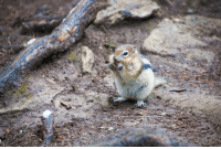 Golden-mantled ground squirrel (Callospermophilus lateralis) vs. nut: Golden-mantled ground squirrel (Callospermophilus lateralis) vs. nut