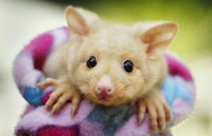 Common, Possum, and Species: Golden Possums aren't a unique species of possum. They're actually common brushtail possums with a genetic mutation that results in low levels of melanin in their skin and fur.