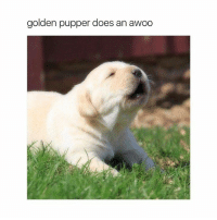 Awoo, Pupper, and Puppers: golden pupper does an awoo