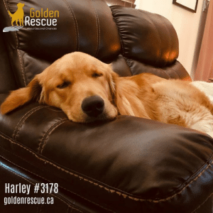 Cute, Energy, and Family: Golden  Rescue  About Second Chances  Harley #3178  goldenrescue.ca AVAILABLE FOR ADOPTION ~ HARLEY #3178  Hi, I am Harley and I am a one-year-old boy with lots of energy.  I am told by my wonderful foster family that I can be a total clown and I make people laugh with my silly personality.  How cute is that!  They also say I am a big mushball … and I do like to play with balls so I guess that makes sense.  I also like to explore as I am curious about everything but one of my very favourite things to do is to snuggle.  To read more of Harley's story please visit his page on our website https://www.goldenrescue.ca/goldens/3178-harley/