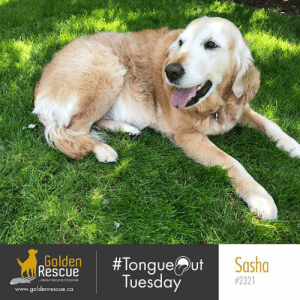Life, Memes, and Live: Golden  Rescue  Sasho  onque  Tuesday  #2321  ..About Second Chances  www.goldenrescue.ca Sasha #2321 is springing up on this #tongueouttuesday to remind you to live life in full bloom! #goldenretriever #rescuedog #adoptdontshop