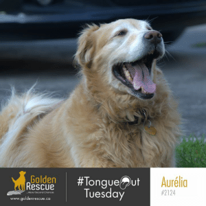 Life, Memes, and Live: Golden  (Rescue  #Tongueut  Tuesday  Aurélia  #2124  About Second Chances  www.goldenrescue.ca Live life like there's no end to your leash!  Aurelia #2124 hopes you have a fantastic #tongueouttuesday! #adoptdontshop #rescuedog #goldenretriever