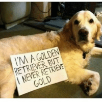 Golden Retriever: GOLDEN  RETRIEVER RETRIEVE  GOLD