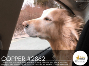 """Dogs, Head, and Memes: goldenrescue.ca  COPPER #2862  Golden  Rescue  #SeniorSaturday  """"Did you ever notice that when you blow in a dog's face he gets mad at you? But  when you take him in a car, he sticks his head out the window."""" - Steve Bluestone #SeniorSaturday #RescueDog #AdoptDontShop"""