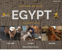 Life, Memes, and Ancient: goldenrescue.ca  GOLDEN RES CUE  EGYPT  Rescue  FLIG  HT #74  OSCAR #2866  KIKI #2867  KARO #2868  # Rescue Missio nOfLove The Ancient Egyptians placed great value on the afterlife.  We like to consider it a second chance at a better life.  Welcome to our newest golden Canadians this morning, Oscar, Kiki and Karo! #rescuemissionoflove #adoptdontshop