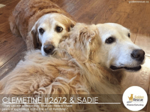 """""""They call me a senior dog. That just means I have years of experience int he fine art of friendship."""" ~unknown  #SeniorSaturday #RescueDog #AdoptDontShop: goldenrescue.ca  Golden  Rescue  CLEMETINE #2672 & SADIE  They call me a senior dog. That just means I have  years of experience in the fine art of friendship.""""  """"They call me a senior dog. That just means I have years of experience int he fine art of friendship."""" ~unknown  #SeniorSaturday #RescueDog #AdoptDontShop"""