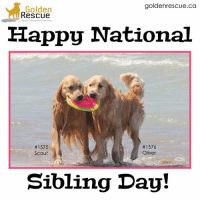 Memes, Happy, and 🤖: goldenrescue.ca  Golden  Rescue  Happy National  1576  #1575  Oliver  Scout  Sibling Day! Happy National Sibling Day, everyone! #goldenrescue  #secondchances  #dog  #doglover #nationalsiblingday #siblings