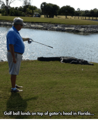 Golf Ball: Golf ball lands on top of gator's head in Florida.  ..