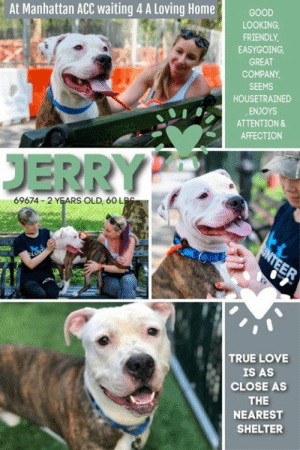INTAKE DATE: 07-20-2019  HANDSOME JERRY HAS BEEN WAITING FOR YOU <3 A volunteer writes: Jerry is one swell fellow. He has a gorgeous white head, sleek brindle coat and soulful eyes. He's just the right amount of shy, and is sweet and gentle as can be. It's a pleasure to walk Jerry. Nothing much seems to distract him and he thoroughly enjoys strolling along. Aside from that, he knows he's outside for another reason, too. And there's nothing more comforting than sitting on a stoop with Jerry pressed up against your legs. He's a lovely boy waiting for you at Manhattan ACC. Don't keep him waiting too long.  JERRY@MANHATTAN ACC Jerry ID# 69674  Sex: Male Age: 2 years old Is Vaccinated: Yes Primary Color: White Secondary Color: Brown Brindle Weight: 60 lbs. Intake Date: 07-20-2019  My health has been checked My vaccinations are up to date My worming is up to date I have been microchipped  Please take note of the Animal ID before contacting shelter   *** TO FOSTER OR ADOPT ***   If you would like to adopt a NYC ACC dog, and can get to the shelter in person to complete the adoption process, you can contact the shelter directly. We have provided the Brooklyn, Staten Island and Manhattan information below. Adoption hours at these facilities is Noon – 8:00 p.m. (6:30 on weekends)  If you CANNOT get to the shelter in person and you want to FOSTER OR ADOPT a NYC ACC Dog, you can PRIVATE MESSAGE our Must Love Dogs page for assistance. PLEASE NOTE: You MUST live in NY, NJ, PA, CT, RI, DE, MD, MA, NH, VT, ME or Northern VA. You will need to fill out applications with a New Hope Rescue Partner to foster or adopt a NYC ACC dog. Transport is available if you live within the prescribed range of states.  Shelter contact information: Phone number (212) 788-4000 Email adopt@nycacc.org  Shelter Addresses: Brooklyn Shelter: 2336 Linden Boulevard Brooklyn, NY 11208 Manhattan Shelter: 326 East 110 St. New York, NY 10029 Staten Island Shelter: 3139 Veterans Road West Staten Island, NY 10309  *