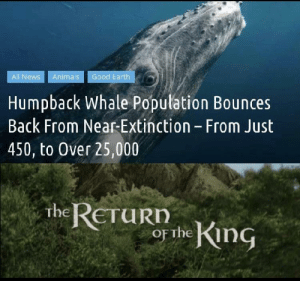 It shouldn't of even been that low :(: Good Earth  All News  Animals  Humpback Whale Population Bounces  Back From Near-Extinction - From Just  450, to Over 25,000  the RETURD  or the King It shouldn't of even been that low :(