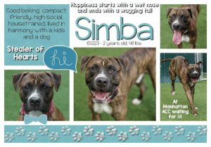 "Being Alone, Animals, and Beautiful: Good looking, compact  Priendly, high social  housetrained, lived in  harmony with a kids  and a dog  agglng a  63223 . 2 years old 48 bs  Stealer of  Hearts  At  Manhattan  ACC waiting  for Ul **** TO BE KILLED - 5/30/2019 ****  SIMBA<3 A staff member writes; Simba is a beautiful bundle of joy here at MACC! Every day, when staff members come in for their shifts, Simba is often the first dog they visit to start their day. His smile is infectious and his happy go lucky attitude is what we all need more of in our lives. Simba is great with kids and is even already house broken! He is a highly social boy and will steal your heart in minutes if you'll just give him the chance. Little is known about Simba's past but we at NYCACC can say with confidence that this boy has a bright future ahead of him! Want to meet this gorgeous brindle boy? Stop by and meet this king of the care center!  SIMBA@MANHATTAN ACC Hello, my name is Simba My animal id is #63223 I am a male brown brindle dog at the  Manhattan Animal Care Center The shelter thinks I am about 2 years old, 48 lbs Came into shelter as owner surrender May 18, 2019 Reason Stated: LANDLORD won't allow I came into the shelter as a owner surrender on 18-May-2019, with the surrender reason stated as person circumstance- landlord won't allow.   Simba is at risk for medical reasons. Simba was diagnosed with canine infectious respiratory disease complex which is contagious to other animals and will require in home care. Behaviorally, Simba becomes quickly overstimulated and would benefit from some reward based training.  My medical notes are... Weight: 48.8 lbs  Vet Notes  21/05/2019  DVM Intake Exam Estimated age: 2 Microchip noted on Intake? n Microchip Number (If Applicable): n  History : STRAY Subjective: BAR, euhydrated, MM pink/moist, CRT Observed Behavior: high energy; fearful; stressed; placed muzzle and easily allowed PE Evidence of Cruelty seen -n Evidence of Trauma seen -n  Objective T = - P = wnl R = wnl EENT: Anterior chambers clear OU; no corneal defects; no ocular or nasal discharge; no oral masses or ulcerations seen Oral Exam: teeth in good cond – no calculus; no staining; all permanent teeth present  PLN: No enlargements noted H/L: No murmurs or arrhythmias; strong, synchronous femoral pulses bilaterally; Eupneic; normal bronchovesicular sounds in all fields; no crackles/wheezes ABD: Non painful, no masses palpated U/G: intact male MSI: BCS 5/9 ; Ambulatory x 4 with no lameness, skin free of parasites, no masses noted, healthy hair coat CNS: Appropriate mentation; no cranial nerve deficits; no proprioceptive deficits; no ataxia Rectal: externally normal Assessment: Healthy   SURGERY: Okay for surgery  Prognosis: Excellent   26/05/2019  SO  BAR in kennel, barking at kennel front. P went out for a Borough Break yesterday, 5/25. Report card indicates P was sneezing multiple times during his time away.   EN -- eyes are clear. P is sneezing repeatedly during rounds   A  CIRDC   P  enrofloxacin 204mg tablet -- give 1 tablet PO q24h x 10 days  cerenia 60mg tablet -- give 0.5 tablet PO q24h x 4 days  Details on my behavior are... Behavior Condition: 3. Yellow  Behavior History Behavior Assessment Upon intake, Simba had a tense body and was barking when he heard the other dogs in the back barking. Simba kept barking but allowed me to approach him and place a leash on him. Simba was not bothered I collared him. Simba pulled hard on the leash as we walked and had to be carried into his kennel by the finder.  Date of Intake: 5/18/2019  Basic Information:: Simba is approximately a 2 year old male brown brindle medium mixed breed dog. Simba was found as a stray and lived with finder for one week.  Previously lived with:: Simba previously lived with two adults, three children and one dog  How is this dog around strangers?: Simba is friendly with strangers. Simba allowed the finder to approach him and untie him from where he was found.  How is this dog around children?: Simba previously lived with a 9, 10, and 17 year old children. Simba is described as being friendly and playful with the children.  How is this dog around other dogs?: Simba previously lived with an 8 month old male small mixed breed dog. Simba is described as being friendly and playful.  How is this dog around cats?: Simba has never interacted with cats.  Resource guarding:: The finder did not try to take away his food while he was eating.  Bite history:: Simba did not try to bite the finder or her dog at home.  Housetrained:: Yes  Energy level/descriptors:: Simba has a high energy level  Other Notes:: Simba is not bothered when being bathed. Simba has not had his coat brushed or his nails trimmed.  Has this dog ever had any medical issues?: No  Medical Notes: Simba has no known medical issues.  For a New Family to Know: Simba is a friendly, affectionate, playful, confident and energetic dog. When at home, Simba likes to follow you around and likes to be in the same room as you. Simba was kept mostly indoors and slept in the living room on a blanket. Simba was fed Pedigree dry food three times a day. Simba is house trained and goes potty on wee-wee pads. When left home alone, Simba will sometimes bark but is well behaved. Simba is taken out for walks three times a day and he pulls very hard on the leash. Simba has never been walked off the leash.  Date of intake:: 5/18/2019  Spay/Neuter status:: No  Means of surrender (length of time in previous home):: Stray (With finder for one week)  Previously lived with:: Adults, children (ages 9, 10, and 17), and a dog  Behavior toward strangers:: Friendly  Behavior toward children:: Friendly and playful  Behavior toward dogs:: Friendly and playful with the dog in the home  Resource guarding:: None reported  Bite history:: None reported  Housetrained:: Yes  Energy level/descriptors:: Simba is described as friendly, affectionate, playful, confident, and energetic with a very high level of activity.  Date of assessment:: 5/21/2019  Summary:: Leash Walking Strength and pulling: Hard Reactivity to humans: None Reactivity to dogs: Extreme Leash walking comments: Pulls very hard towards dogs, hard barking, difficult to redirect  Sociability Loose in room (15-20 seconds): Highly social Call over: Approaches readily Sociability comments: Barking, anxious, pacing  Handling  Soft handling: over-aroused Exuberant handling: over-aroused Comments: Barking, restless, jumps up   Arousal Jog: Engages in play (exuberant) Arousal: jumps up, goes for leash briefly  Knock: Approaches (loose) Knock Comments: None  Toy: Grips, relinquishes Toy comments: None  Summary:: A single dog home is recommended until more conclusive determination can be made on behavior around other dogs.  5/19: When a gate greeting conducted done with a female dog, Simba is tense and hard barks at the dog.  5/21: Simba is muzzled for off leash introduction. He runs after the greeter dog while growling, at times stops to sniff.  Date of intake:: 5/18/2019  Summary:: Tense, barking at noises, allowed handling  Date of initial:: 5/21/2019  Summary:: high energy, fearful, stressed, used muzzle  ENERGY LEVEL:: Simba is described as having a very high level of energy. He will need daily mental and physical activity to keep him engaged and exercised. We recommend long-lasting chews, food puzzles, and hide-and-seek games, in additional to physical exercise, to positively direct his energy and enthusiasm. We recommend feeding with puzzle feeders and food-dispensing toys. And we recommend only force-free, reward-based training techniques for Simba.  BEHAVIOR DETERMINATION:: Level 3  Behavior Asilomar: TM - Treatable-Manageable  Recommendations:: No children (under 13),Single-pet home,Recommend no dog parks  Recommendations comments:: No children: At the care center, Simba has displayed extreme on-leash reactivity towards other dogs, anxiety, social hyperarousal, and a very high level of barking and jumping up. For these reasons, we recommend an adult-only home for Simba.   Single dog/no dog parks: See DOG-DOG.  Potential challenges: : Social hyperarousal,Anxiety,On-leash reactivity/barrier frustration  Potential challenges comments:: Social hyperarousal: Simba quickly becomes over-aroused in the presence of people, jumping up and barking continuously. Please see handout on Social hyperarousal.  Anxiety: Simba appears anxious at the care center, showing displacement behaviors when interacting with handlers, including scratching and excessive barking. Please see handout on Anxiety.   On-leash reactivity/barrier frustration: At the care center Simba has been observed to react to other dogs on leash, pulling towards them very strongly and barking. It is difficult to redirect him during these incidents. Please see handout on On-leash reactivity/barrier frustration.  * TO FOSTER OR ADOPT *   HOW TO RESERVE A ""TO BE KILLED"" DOG ONLINE (only for those who can get to the shelter IN PERSON to complete the adoption process, and only for the dogs on the list NOT marked New Hope Rescue Only). Follow our Step by Step directions below!   *PLEASE NOTE – YOU MUST USE A PC OR TABLET – PHONE RESERVES WILL NOT WORK! *  STEP 1: CLICK ON THIS RESERVE LINK: https://newhope.shelterbuddy.com/Animal/List  Step 2: Go to the red menu button on the top right corner, click register and fill in your info.   Step 3: Go to your email and verify account  \ Step 4: Go back to the website, click the menu button and view available dogs   Step 5: Scroll to the animal you are interested and click reserve   STEP 6 ( MOST IMPORTANT STEP ): GO TO THE MENU AGAIN AND VIEW YOUR CART. THE ANIMAL SHOULD NOW BE IN YOUR CART!  Step 7: Fill in your credit card info and complete transaction   HOW TO FOSTER OR ADOPT IF YOU CANNOT GET TO THE SHELTER IN PERSON, OR IF THE DOG IS NEW HOPE RESCUE ONLY!   You must live within 3 – 4 hours of NY, NJ, PA, CT, RI, DE, MD, MA, NH, VT, ME or Northern VA.   Please PM our page for assistance. You will need to fill out applications with a New Hope Rescue Partner to foster or adopt a dog on the To Be Killed list, including those labelled Rescue Only. Hurry please, time is short, and the Rescues need time to process the applications.  Shelter contact information Phone number (212) 788-4000  Email adoption@nycacc.org  Shelter Addresses: Brooklyn Shelter: 2336 Linden Boulevard Brooklyn, NY 11208 Manhattan Shelter: 326 East 110 St. New York, NY 10029 Staten Island Shelter: 3139 Veterans Road West Staten Island, NY 10309  *** NEW NYC ACC RATING SYSTEM ***  Level 1 Dogs with Level 1 determinations are suitable for the majority of homes. These dogs are not displaying concerning behaviors in shelter, and the owner surrender profile (where available) is positive. Some dogs with Level 1 determinations may still have potential challenges, but these are challenges that the behavior team believe can be handled by the majority of adopters. The potential challenges could include no young children, prefers to be the only dog, no dog parks, no cats, kennel presence, basic manners, low level fear and mild anxiety.  Level 2  Dogs with Level 2 determinations will be suitable for adopters with some previous dog experience. They will have displayed behavior in the shelter (or have owner reported behavior) that requires some training, or is simply not suitable for an adopter with minimal experience. Dogs with a Level 2 determination may have multiple potential challenges and these may be presenting at differing levels of intensity, so careful consideration of the behavior notes will be required for counselling. Potential challenges at Level 2 include no young children, single pet home, resource guarding, on-leash reactivity, mouthiness, fear with potential for escalation, impulse control/arousal, anxiety and separation anxiety.  Level 3 Dogs with Level 3 determinations will need to go to homes with experienced adopters, and the ACC strongly suggest that the adopter have prior experience with the challenges described and/or an understanding of the challenge and how to manage it safely in a home environment. In many cases, a trainer will be needed to manage and work on the behaviors safely in a home environment. It is likely that every dog with a Level 3 determination will have a behavior modification or training plan available to them from the behavior department that will go home with the adopters and be made available to the New Hope Partners for their fosters and adopters. Some of the challenges seen at Level 3 are also seen at Level 1 and Level 2, but when seen alongside a Level 3 determination can be assumed to be more severe. The potential challenges for Level 3 determinations include adult only home (no children under the age of 13), single pet home, resource guarding, on-leash reactivity with potential for redirection, mouthiness with pressure, potential escalation to threatening behavior, impulse control, arousal, anxiety, separation anxiety, bite history (human), bite history (dog) and bite history (other)."