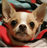 """""""Good morning!"""" From FamousChihuahua.com and @merlinandfamily #famouschihuahua #goodmorning #chihuahua #cutedog #lovedogs #chihuahuasofinstagram #merlin #sharethelove: """"Good morning!"""" From FamousChihuahua.com and @merlinandfamily #famouschihuahua #goodmorning #chihuahua #cutedog #lovedogs #chihuahuasofinstagram #merlin #sharethelove"""