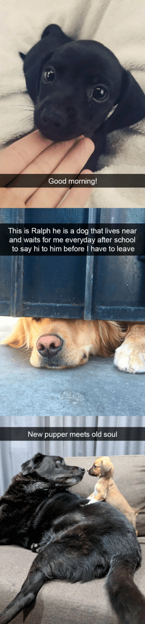 babyanimalgifs:  More dog snapsvia @animalsnaps​: Good morning!   This is Ralph he is a dog that lives near  and waits for me everyday after school  to say hi to him before I have to leave   New pupper meets old soul babyanimalgifs:  More dog snapsvia @animalsnaps​