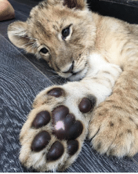 Good night world! I love this old photo of baby Lewis... his little paw is just precious! @blackjaguarwhitetiger itsallforlove savelions notpets BabyLewisBJWT @lewishamilton teamLH: Good night world! I love this old photo of baby Lewis... his little paw is just precious! @blackjaguarwhitetiger itsallforlove savelions notpets BabyLewisBJWT @lewishamilton teamLH