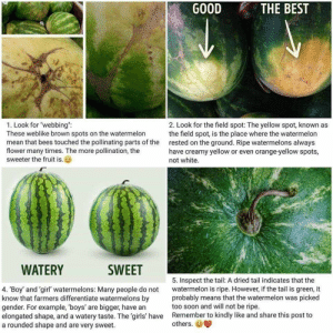 """""""Swishing means it's ripe!"""": GOOD  THE BEST  1. Look for """"webbing"""":  These weblike brown spots on the watermelon  mean that bees touched the pollinating parts of the  flower many times. The more pollination, the  sweeter the fruit is.  2. Look for the field spot: The yellow spot, known as  the field spot, is the place where the watermelon  rested on the ground. Ripe watermelons always  have creamy yellow or even orange-yellow spots,  not white.  WATERY  SWEET  5. Inspect the tail: A dried tail indicates that the  watermelon is ripe. However, if the tail is green, it  probably means that the watermelon was picked  too soon and will not be ripe.  Remember to kindly like and share this post to  others.  4. Boy' and 'girl' watermelons: Many people do not  know that farmers differentiate watermelons by  gender. For example, 'boys' are bigger, have an  elongated shape, and a watery taste. The 'girls' have  a rounded shape and are very sweet """"Swishing means it's ripe!"""""""