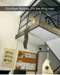 Memes, Mufasa, and Butterfly: Goodbye Mufasa. I'm the King now. Follow my other accounts @antisocialtv @lola_the_ladypug @x__antisocial_butterfly__x