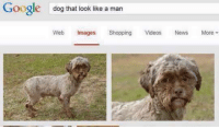 Who is he?!: Google  dog that look like a man  Web Images  Shopping  Videos  News  More Who is he?!