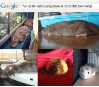 Club, Dank, and Google: Google  VERY flat rattos lying down at incredible low heihgt [cool ratto club]
