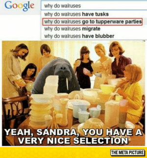 Google, Tumblr, and Yeah: Google why do walruses  why do walruses have tusks  why do walruses go to tupperware parties  why do walruses migrate  why do walruses have blubber  YEAH, SANDRA YOU HAVE A  VERY NICE SELECTION  THE META PICTURE awesomesthesia:  Why Do They Do It?