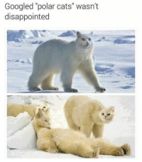 "Cats, Disappointed, and Funny: Googled ""polar cats"" wasn't  disappointed Polar bears  #cats # fuuny cats # cat memes # funny memes #Funny cats"