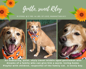 "Beautiful, Best Friend, and Cats: Goolle, sweet Riley  ID 57060, @ 5 YRS. 44 LBs, OF LOVE, MANHATTAN ACC  An endearing, quiet, shyly sweet middle aged gentleman who  dreams of a family who can give him a warm, loving home.  Playful with children, respectful of the family cat. A love ly boy. TO BE KILLED 6/25/19  Riley is CAT FRIENDLY !  Shyly sweet, sensitive and kind, Riley waits for a family who can give him the warm and loving home he so deserves! He's so quiet and patient and good. Will you help him? As a volunteer writes: ""Riley is a very attractive and handsome middle aged gentleman with a winning smile! He is dressed as a fox, all in red, well groomed and healthy looking. Riley walks quite well on the leash, does not chase pigeons, and respects his peers just like he does in our playgroups. He is a bit timid but will sit for caresses, and he absolutely relishes treats. His previous owners say that he loves to play, and he has started to run and jump after tennis balls in our yard. Riley would be playful with children and respectful of the cats he lived with. He owns a sensitive soul and would likely do best with an insightful new owner or family. Riley is a beauty and quite an endearing gent who will make a loving and loyal for ever best friend if given a chance. Come and meet him soon at the Manhattan Care Center!"" Foster or adopt this beautiful golden retriever mix sweetheart now! Message our page or email us at MustLoveDogsNYC@gmail.com for assistance.  MY MOVIE: Handsome Riley  <3 https://youtu.be/vAIAEnFXM3c  RILEY, ID# 57060, 6 yrs old, 44.6 lbs, Neutered Male Manhattan ACC, Large Mixed Breed, Brown / White  Adoption return Owner Surrender Reason: Pet Conflict with small resident dog  Behavior History: Date of Intake: 6/8/2019  Spay/Neuter Status: Neutered  Previously lived with:: 2 adults, 1 cat, 1 SMB dog  How is this dog around strangers?: Barks once or twice when he hears front door. Allows pets from strangers, goes up to people in elevator  How is this dog around children?: Will approach children. If they approach him first, he has no issue and lets them pet him  How is this dog around other dogs?: Riley played with dogs and puppies in the dog park owners took him to. Owner has some concerns about Riley with little dogs. He is reactive to small dogs being submissive with him. Riley does not back down when small dog in home growls.  How is this dog around cats?: Riley would often ignore the cat in the home if she walked calmly by him. If she ran by him, he would give chase at times  Resource guarding:: Riley growled at small dog in the home if she was sitting next to the owner or if she passed by and he had a toy or treat in his mouth  Bite history:: Riley bit the small dog in the home leaving 5 puncture wounds. This occured when Riley was in the kitchen while owner was cooking and the small dog entered. Owners believe this might have been related to resource guarding regarding the smell of food or possible food on the floor.  Housetrained:: Yes  Other Notes:: Owners walked Riley about 4 times a day. After having a pee accident in the home within 2 hours of first arriving, he never had another accident. He will wake owners up in the morning to go outside.  Medical Notes: Riley has some broken teeth  For a New Family to Know: Riley enjoys going to dog parks and playing fetch and playing with other dogs. He preferred to interact with the other dogs than play fetch.  Riley is curb trained and will pee right as he gets outside on the curb. He poops once a day as per owners and is completely housetrained. He will wake owners up in the morning to be taken out. Riley pulls occasionally on his leash but owners state he's manageable.  Riley was not destructive of any household items other than his own toys. His favorite toys were tennis balls and squeaky plush toys.  Riley followed owners from room to room within the home. He slept in the bedroom on the floor and only once jumped onto the furniture. He enjoyed his dog beds he was provided. He seemed kennel trained according to owners. Once he growled at owner trying to get him into the crate, but then she leashed him and he went right in and seemed relax. He has also gone into the kennel on his own.  Riley was fed Science diet dry food and Farmer's dog wet food. Owners state he likes most treats he's been given including bully sticks, raw hides, training treats, dental chews, etc.  Riley was given a bath and did not put up a fight. He did shake off a lot. He seems fine with all types of handling.  Riley knows sit, down, stay and seems to know ""leave it"". Riley was not reactive to loud storms or fireworks.  Behavior Assessment Date of intake:: 6/8/2019  Spay/Neuter status:: Yes  Means of surrender (length of time in previous home):: Owner Surrender (In home for 2 months)  Previously lived with:: An adult  Behavior toward strangers:: Shy but warms up and is friendly. Will growl at tall men  Behavior toward children:: Relaxed, playful, and usually tolerant with children (ages 7 and 8) that he was around  Behavior toward dogs:: Tense body and tucked tail around them  Behavior toward cats:: Fearful and respectful of cats he walks by  Resource guarding:: Yes, Riley will sometimes growl when people approach him and he has a toy.  Bite history:: Yes, Riley bit a small dog in one of his previous homes. The exact cause of the bite is unknown but the bite left 5 punctures.  Housetrained:: Partially  Energy level/descriptors:: Riley is described as friendly, affectionate, playful, shy, excitable and independent with a medium level of activity.  Date of assessment:: 5/23/2019  Summary:: Leash Walking Strength and pulling: None Reactivity to humans: None Reactivity to dogs: None Leash walking comments: None  Sociability Loose in room (15-20 seconds): Moderately social Call over: Approaches readily Sociability comments: body soft, exploring room  Handling  Soft handling: Seeks contact Exuberant handling: seeks contact Comments: body soft, leaned in   Arousal Jog: Follows (loose) Arousal comments: None  Knock: Approaches (loose) Knock Comments: None  Toy: No response Toy comments: None  Summary:: Riley has demonstrated most compatibility with other calm or gently playful dogs.  5/23: When introduced off leash to dogs, Riley keeps to himself and displays minimal interest in approaching.  5/25-30: Riley greets other dogs politely.  Date of intake:: 5/22/2019  Summary:: Tense, allowed handling  ENERGY LEVEL:: Riley is described as having a medium level of energy.  BEHAVIOR DETERMINATION:: New Hope Only  Behavior Asilomar: TM - Treatable-Manageable  Recommendations:: No children (under 13),Place with a New Hope partner  Recommendations comments:: No children: It is reported by the previous owners that Riley will growl when his toy is touched or taken away. Also, while playing outside at the care center, Riley has mounted handlers on multiple occasions and growled at them when they attempt to get him off. For this reason we recommend an adult-only home for Riley.  Place with a New Hope partner: Due to Riley's resource guarding, low threshold for arousal, and bite history with a dog in his previous home, we recommend placement with a New Hope partner who can provide any necessary behavior modification (force-free, positive reinforcement-based) and re-evaluate behavior in a stable home environment before placement into a permanent home.  Potential challenges: : House soiling,Resource guarding,Fearful/potential for defensive aggression,Bite history (dog),Low threshold for arousal  Potential challenges comments:: House soiling: The previous owners report that Riley is only partially housetrained and may have accidents in the home. Please see handout on House soiling.   Resource guarding: The previous owners report that Riley will growl when the toy he has in his possession is touched or taken away. Please see handout on Resource guarding.   Fearful/potential for defensive aggression: The previous owners report that Riley will growl when the toy he has in his possession is touched or taken away and they also report that Riley growls at tall men, which both show a potential for defensive aggression. Please see handout on Fearful/potential for defensive aggression.  Bite history (dog): The previous owners report that Riley bit the small resident dog in the home, leaving 5 punctures. The exact cause of this bite is unknown but the owners suspect Riley was guarding food that had fallen on the floor.   Low threshold for arousal: While playing fetch outside at the care center, Riley has become aroused and mounted handlers on multiple occasions. When they attempt to get him off, he growls at them. Please see handout on Low threshold for arousal.  My medical notes are... Weight: 44.6 lbs  Vet Notes 3/14/2019  DVM Intake Exam  Estimated age: Approx 6 years Microchip noted on Intake? Negative, placed at intake  History : Owner surrender  Subjective: BARH, tense and hyperreactive, food distracts him, allows full exam  Evidence of Cruelty seen - none  Evidence of Trauma seen - none  Objective   P = wnl R = wnl BCS = 4/9  EENT: Eyes clear, ears clean, no nasal or ocular discharge noted Oral Exam: moderate tartar PLN: No enlargements noted H/L: NSR, NMA, Lungs clear, eupnic ABD: Non painful, no masses palpated U/G: Male neutered MSI: Ambulatory x 4, skin free of parasites, no masses noted, healthy hair coat CNS: Mentation appropriate - no signs of neurologic abnormalities Rectal: Externally normal  Assessment: Mild underweight Dental disease  Prognosis: Good  Plan: Recommend bloodwork/dental cleaning upon placement. Monitor weight gain.  5/30/2019  DVM Intake Exam Estimated age: 6  Microchip noted on Intake? yes Microchip Number (If Applicable):  History : RTS Subjective: BAR, euhydrated, MM pink/moist, CRT Observed Behavior: loose body; allowed for full PE  Evidence of Cruelty seen -n Evidence of Trauma seen -n  Objective T = - P = wnl R = wnl EENT: Anterior chambers clear OU; no corneal defects; no ocular or nasal discharge; no oral masses or ulcerations seen Oral Exam: moderate calculus (3/5); Gingivitis (2/5) PLN: No enlargements noted H/L: No murmurs or arrhythmias; strong, synchronous femoral pulses bilaterally; Eupneic; normal bronchovesicular sounds in all fields; no crackles/wheezes ABD: Non painful, no masses palpated U/G: Neutered male MSI: BCS 4.5/9 ; Ambulatory x 4 with no lameness, skin free of parasites, no masses noted, healthy hair coat CNS: Appropriate mentation; no cranial nerve deficits; no proprioceptive deficits; no ataxia Rectal: externally normal  Assessment: Healthy  Other Conditions - Dental disease  6/8/2019  DVM Intake Exam  Estimated age: ~6yrs based on previous hx.  Microchip noted on Intake? scanned positive.   History : Return; P bit resident dog 3 days prior to return.   Subjective / Observed Behavior - BAR, allows handling   Evidence of Cruelty seen - none  Evidence of Trauma seen - none   Objective  BCS 7/9 EENT: Eyes clear, ears clean, no nasal or ocular discharge noted Oral Exam: did not examine  PLN: No enlargements noted H/L: No murmur ausculted; Lungs clear, eupnic ABD: Non painful, no masses palpated U/G: neutered male.  MSI: Ambulatory x 4, skin free of parasites, no masses noted, healthy hair coat CNS: Mentation appropriate - no signs of neurologic abnormalities Rectal: externally normal.   Assessment dental disease  overweight   Prognosis: excellent   Plan: observe DOH hold  recommend weight loss of ~3-5lbs.  6/23/2019  Trazadone extension  Trazadone- 100mg sig 100mg po q 12hrs  -----------------------------------------------------  NOTES FIRST STAY / Intake 5/22/2019  RILEY, ID# 57060, 6 yrs old, 44.6 lbs, Neutered Male Manhattan ACC, Large Mixed Breed, Brown / White  Owner Surrender Reason:  Shelter Assessment Rating: LEVEL 2 Medical Behavior Rating:  *** TO FOSTER OR ADOPT ***  HOW TO RESERVE A ""TO BE KILLED"" DOG ONLINE (only for those who can get to the shelter IN PERSON to complete the adoption process, and only for the dogs on the list NOT marked New Hope Rescue Only). Follow our Step by Step directions below!   *PLEASE NOTE – YOU MUST USE A PC OR TABLET – PHONE RESERVES WILL NOT WORK! **   STEP 1: CLICK ON THIS RESERVE LINK: https://newhope.shelterbuddy.com/Animal/List  Step 2: Go to the red menu button on the top right corner, click register and fill in your info.   Step 3: Go to your email and verify account  \ Step 4: Go back to the website, click the menu button and view available dogs   Step 5: Scroll to the animal you are interested and click reserve   STEP 6 ( MOST IMPORTANT STEP ): GO TO THE MENU AGAIN AND VIEW YOUR CART. THE ANIMAL SHOULD NOW BE IN YOUR CART!  Step 7: Fill in your credit card info and complete transaction   HOW TO FOSTER OR ADOPT IF YOU *CANNOT* GET TO THE SHELTER IN PERSON, OR IF THE DOG IS NEW HOPE RESCUE ONLY!   You must live within 3 – 4 hours of NY, NJ, PA, CT, RI, DE, MD, MA, NH, VT, ME or Norther VA.   Please PM our page for assistance. You will need to fill out applications with a New Hope Rescue Partner to foster or adopt a dog on the To Be Killed list, including those labelled Rescue Only. Hurry please, time is short, and the Rescues need time to process the applications."