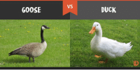 who would win: GOOSE  VS  DUCK who would win