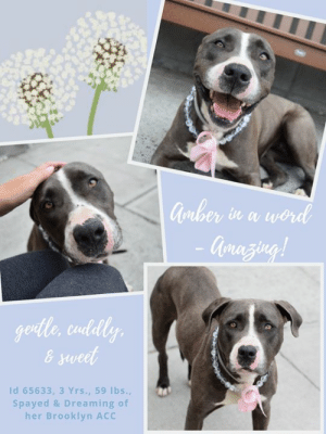 Children, Dogs, and Energy: Gorber  Qrazing!  in a word  gentle, cudly  & sweet  Id 65633, 3 Yrs., 59 lbs.,  Spayed & Dreaming of  her Brooklyn ACC INTAKE DATE – 6/11/2019   Incredibly gentle, sweet, and cuddly, Amber doesn't belong in the shelter.  This is not the place for a dog so amazing, and so willing to  just seek comfort in the arms of the people she loves.  She would make someone a wonderful companion, and she would give them a lifetime of joy and love.  We can't imagine how anyone could have left her behind to die in a kill shelter.  Dogs like this come around once in a blue moon, so don't wait another moment.  Foster or adopt her now.  She is Level 2 rated, meaning she can go to a home with people who have had previous dog experience.  Message our page or email us at MustLoveDogsNYC@gmail.com for assistance.  MY MOVIES:  Amber  https://youtu.be/zuIY3W8c3eg   Amber, 1 part shy, 100 parts sweet! https://www.youtube.com/watch?v=-dIWtVT9NJU  AMBER, ID# 65633, 3 yrs old, 59 lbs, Spayed Female Brooklyn ACC, Large Mixed Breed, Gray / White   Owner Surrender Reason:  Shelter Assessment Rating: LEVEL 2 No young children (under 5) Medical Behavior Rating: Blue   BEHAVIOR NOTES   Means of surrender (length of time in previous home): Stray, no known history   SHELTER ASSESSMENT SUMMARIES -  Behavior Assessment Date: 6/14/2019   Leash Walking Strength and pulling: Mild pulling Reactivity to humans: None Reactivity to dogs: None Leash walking comments:  Sociability Loose in room (15-20 seconds): Tense body, trembling, tucked tail, approaches handler readily, licks handler, explores somewhat, ears back, accepts contact, leans into handler Call over: Approaches readily, low body and tail  Sociability comments:   Handling  Soft handling: Tense-neutral, tucked tail, ears back, closed mouth, lip lick, sits down, accepts all contact Exuberant handling: Tense-neutral, tucked tail, ears back, closed mouth, lip lick, remains sitting, leans into and accepts all contact Handling comments:  Arousal Jog: Follows handler, soft and loose, tail high and wagging Arousal comments: Solicits attention and leans into handler after third pass  Knock Knock Comments: No response to knock; Approaches assistant readily, tucked tail, low head, soliciting attention, leans into contact  Toy Toy comments: Grips firmly  PLAYGROUP NOTES - DOG TO DOG SUMMARIES:  Amber was surrendered as a stray so her past behavior around other dogs is unknown. 6/12: When off leash at the Care Center, Amber is introduced to a novel male dog. She is uncomfortable as she greets him and becomes tense when she exchanges a face to face greet. The novel male begins to hard bark at handlers and is swapped for another male. When the second novel male enters the pen and approaches the gate, Amber begins to grumble. Her leash is held and the gate is opened, she becomes tense with a short lip when the male approaches. The male walks away and Amber attempts to dart after him.   INTAKE BEHAVIOR: Date of intake: 11-Jun-2019 Summary: Shying away, though tolerated some handling  MEDICAL BEHAVIOR: Date of initial: 11-Jun-2019 Summary: Tail tucked, head down, shaking, licks handler  ENERGY LEVEL: Amber has been observed to exhibit a medium level of energy during her interactions in the care center.  BEHAVIOR DETERMINATION: Level 2 Behavior Asilomar TM - Treatable-Manageable  Recommendations: No young children (under 5)  Recommendations comments: No young children (under 5): Due to Amber's overall timidity and fearful behavior, we feel it would be best for her to be placed in a stable home environment with no young children, as loud noises and sudden movements may startle her. It is advised that the new adopters should be able to exercise appropriate and safe management when handling Amber, allowing her to acclimate and decompress at her own pace. Force-free, reward-based training only is advised when introducing or exposing Amber to new and unfamiliar situations, as well as utilizing guidance from a qualified, professional trainer/behaviorist.  Potential challenges: Fearful  Potential challenges comments: Fearful: Amber displays initial timidity and fearful behavior during her interactions in the care center. She has been observed to exhibit fearful body language (tucked tail, low head and body, trembling), but warms up and readily solicits attention and contact from handlers. Please refer to the handout for Fearful.   MEDICAL EXAM NOTES   15-Jun-2019  Spay/Neuter Summary Pre-surgical exam, anesthesia, and surgery performed by ASPCA. Green linear tattoo placed on ventral abdomen. Offsite Vet  14-Jun-2019  Progress Exam.  Hx: 6/11 intake Mass - likely benign.  SO: BARH, Good appetite, unremarkable eliminations.  EENT: eyes clear, ears clean, no cough, sneeze or discharge noted on exam.  Oral: unremarkable adult dentition.  H/L: Eupneic, no irregular beats, normal heart and lung sounds.  MSI: Ambulatory, palpation unremarkable, full and shiny hair coat.  Abd palp unremarkable.  Female intact.  Assessment: mass.  Plan: Ok for Glendale, monitor mass +/- biopsy.  11-Jun-2019  DVM Intake Exam.  Estimated age:2-4y.  Microchip noted on Intake?n Microchip Number (If Applicable): n/a.  History :stray.  Subjective:  Observed Behavior -tail tucked, head down, shaking. will lick examiner.  Evidence of Cruelty seen -n.  Evidence of Trauma seen -n.  Objective:  T = , P =50, R =wnl, BCS 5/9, EENT: Eyes clear, ears clean, no nasal or ocular discharge noted.  Oral Exam:clean teeth.  PLN: No enlargements noted.  H/L: NSR, NMA, CRT < 2, Lungs clear, eupnic.   ABD: Non painful, no masses palpated..  U/G: no spay scar seen.  MSI: Ambulatory x 4, skin free of parasites, no masses noted, healthy hair coat. small red mass on right side of muzzle.  CNS: Mentation appropriate - no signs of neurologic abnormalities.  Assessment: healthy. small mass, likely benign.  Prognosis: good.  Plan: ohe. monitor mass on muzzle.    SURGERY:  Okay for surgery   ***  TO FOSTER OR ADOPT  ***   If you would like to adopt a NYC ACC dog, and can get to the shelter in person to complete the adoption process, you can contact the shelter directly. We have provided the Brooklyn, Staten Island and Manhattan information below. Adoption hours at these facilities is Noon – 8:00 p.m. (6:30 on weekends)  If you CANNOT get to the shelter in person and you want to FOSTER OR ADOPT a NYC ACC Dog, you can PRIVATE MESSAGE our Must Love Dogs page for assistance. PLEASE NOTE: You MUST live in NY, NJ, PA, CT, RI, DE, MD, MA, NH, VT, ME or Northern VA. You will need to fill out applications with a New Hope Rescue Partner to foster or adopt a NYC ACC dog. Transport is available if you live within the prescribed range of states.  Shelter contact information: Phone number (212) 788-4000 Email adopt@nycacc.org  Shelter Addresses:  Brooklyn Shelter: 2336 Linden Boulevard Brooklyn, NY 11208  Manhattan Shelter: 326 East 110 St. New York, NY 10029  Staten Island Shelter: 3139 Veterans Road West Staten Island, NY 10309  *** NEW NYC ACC RATING SYSTEM ***  Level 1  Dogs with Level 1 determinations are suitable for the majority of homes. These dogs are not displaying concerning behaviors in shelter, and the owner surrender profile (where available) is positive.   Level 2   Dogs with Level 2 determinations will be suitable for adopters with some previous dog experience. They will have displayed behavior in the shelter (or have owner reported behavior) that requires some training, or is simply not suitable for an adopter with minimal experience.   Level 3  Dogs with Level 3 determinations will need to go to homes with experienced adopters, and the ACC strongly suggest that the adopter have prior experience with the challenges described and/or an understanding of the challenge and how to manage it safely in a home environment. In many cases, a trainer will be needed to manage and work on the behaviors safely in a home environment.