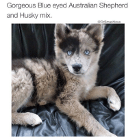 """Ass, Memes, and Phone: Gorgeous Blue eyed Australian Shepherd  and Husky mix.  @DrSmashlove (@barrysbanterbus 👈) This the type of sexy-ass doggo that will leave u on """"Read"""" and got all his exes saved in his phone under restaurant names 😂😂😂"""