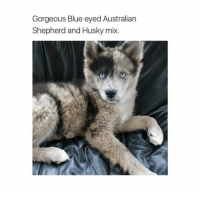 Funny, Gorgeous, and Husky: Gorgeous Blue eyed Australian  Shepherd and Husky mix @theladbible is my favorite account right now