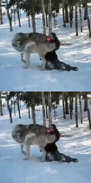 Gorgeous grey wolf becomes a good boy when visited by the people that helped raise their pack (Source): Gorgeous grey wolf becomes a good boy when visited by the people that helped raise their pack (Source)